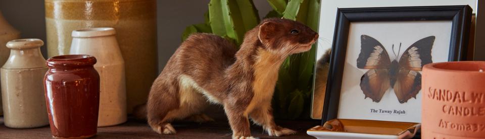 taxidermy weasel tessa packard london showroom